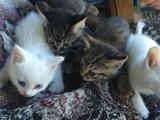 Отдам месячных котят породы Турецкий Ван. С голубы