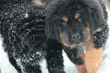 Тибетский мастиф щенки